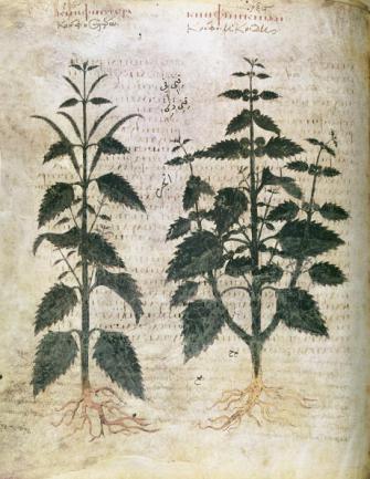 Nettles, 6th century.